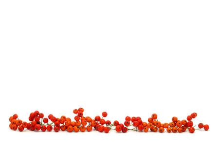 rowanberry: Red Rowan-berry Stock Photo