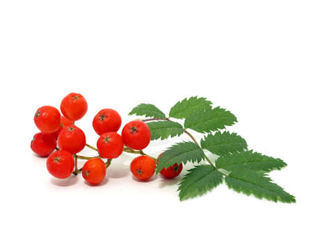 Red Rowan-berry Stock Photo