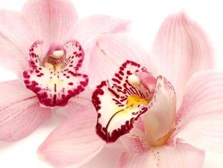 シンビジウム蘭