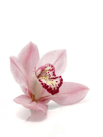 Pink Cymbidium Stock Photo