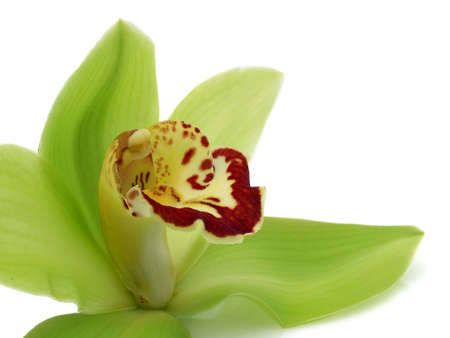 Green Cymbidium Orchid Stock Photo