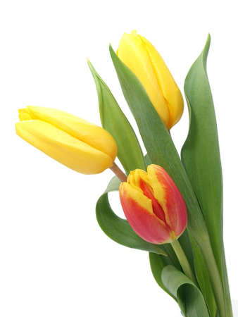 Beautiful tulips Stock Photo