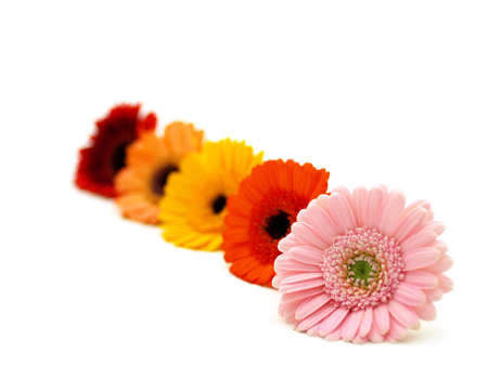 Colourful Gerber Flowers Stock Photo