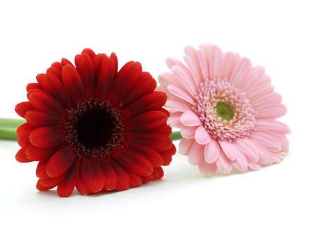 Gerber flowers 写真素材