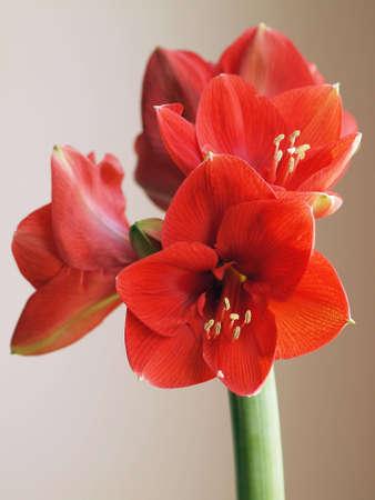 Amaryllis Flower Stock Photo