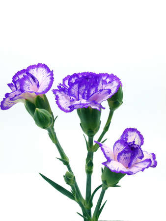 Carnation flower Stock Photo