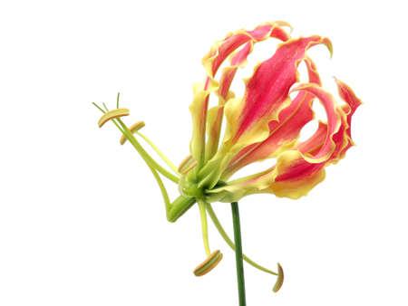グロリオサ花