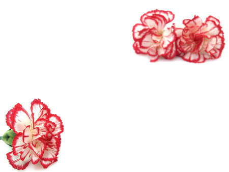 Carnation flowers on the white background  photo