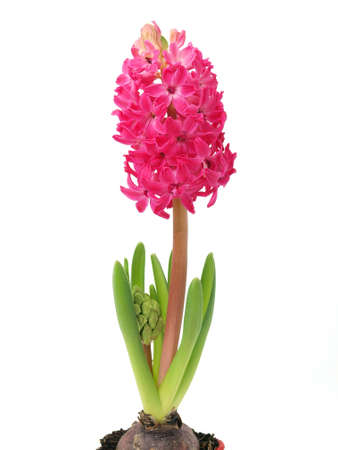 Hyacinth flower in the pot isolated