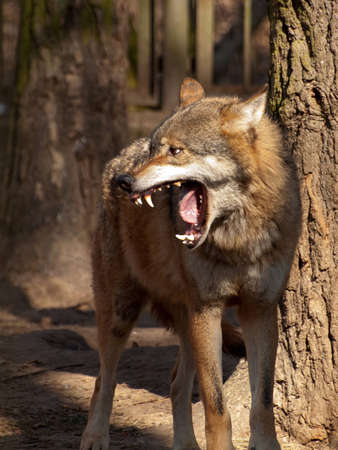 lupus: Wolf (Canis lupus) Stock Photo