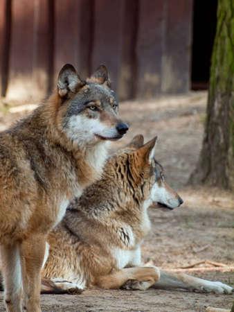 強烈な材木オオカミ (Canis lupus)