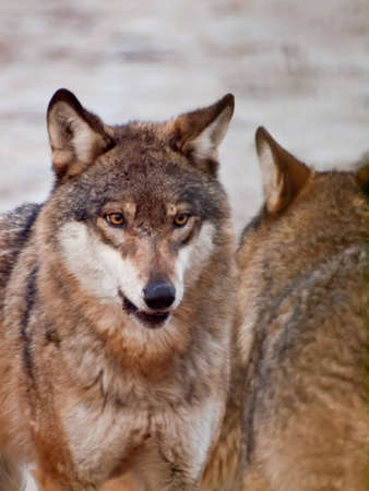 canis lupus: Wolf (Canis lupus) Stock Photo