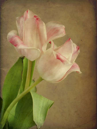 Tulip flowers textured