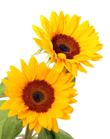 Sunflowers isolated Stock Photo