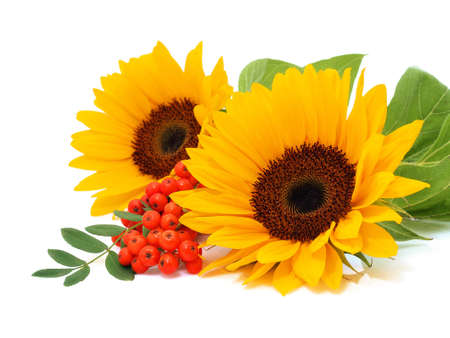 Sunflowers isolated on the white background