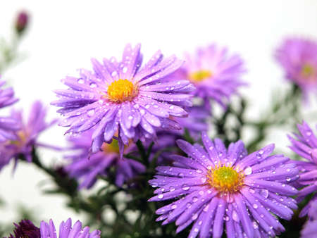 Aster flowers on the white background  Stock Photo