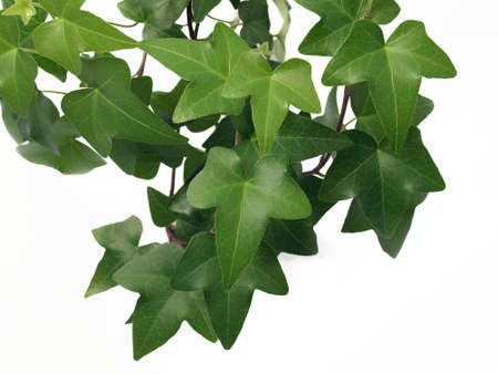Green ivy on the white background  写真素材