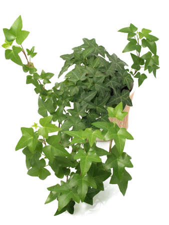 flower pots: Green ivy on the white background  Stock Photo