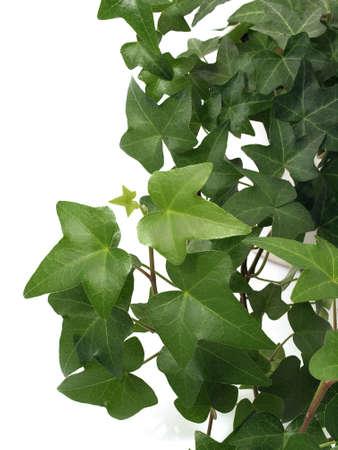 分離された緑のアイビー 写真素材