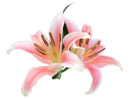 lily flowers: Flores Lily Foto de archivo