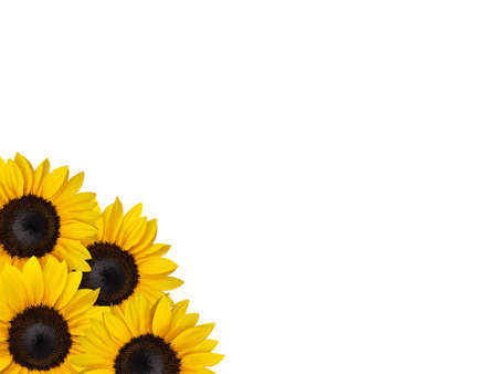 Sunflowers isolated on the white background  Stock Photo