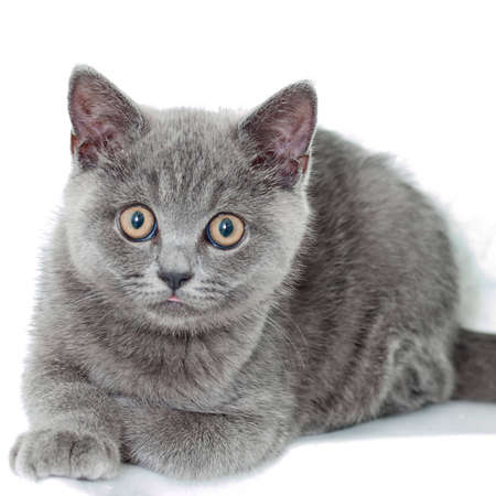 白い背景の上のイギリスの猫