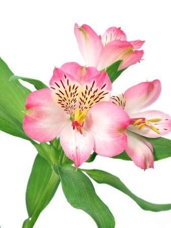 分離されたアルストロメリアの花
