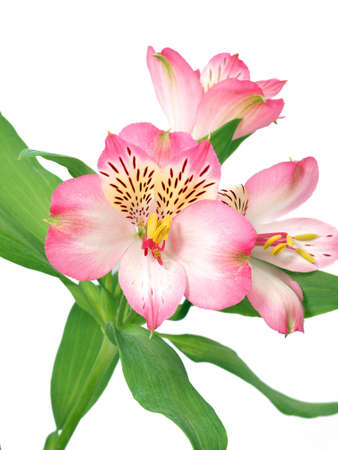 Alstroemeria flower isolated