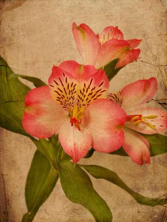 Alstroemeria lily flower textured