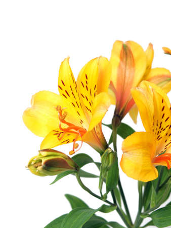 Alstroemeria lily flower isolated photo