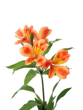 Alstroemeria lily flower isolated
