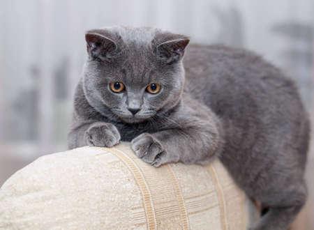 British cat shorthair