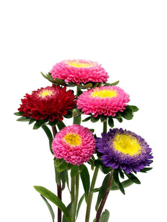 Colourful aster flowers