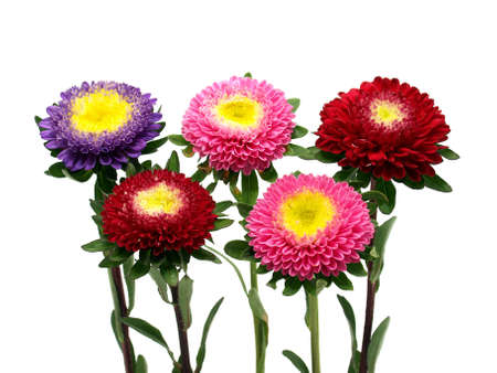 Colorful aster flowers