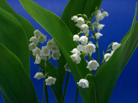 Lily of the valley Stock Photo - 10958920