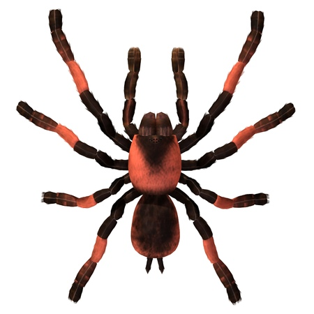 Tarantula spider 3d illustration isolated on the white background Stock Photo