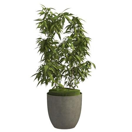 Zimmerpflanze 3D-Darstellung auf dem weißen Hintergrund isoliert Standard-Bild