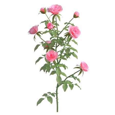 Rose bush 3d illustration isolated on the white background