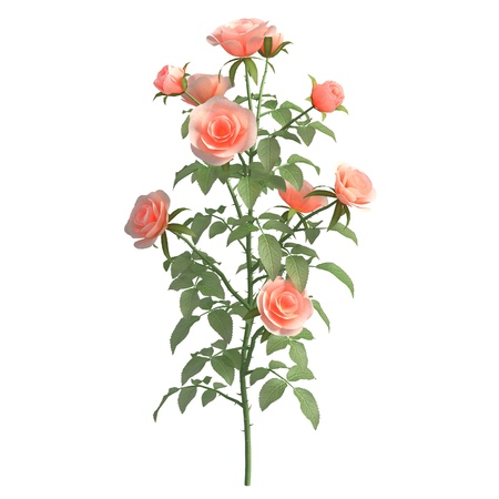 Rose bush 3d illustration isolated on the white background