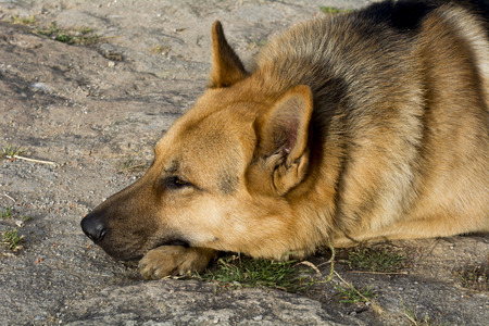 German Shepherd resting relaxed photo