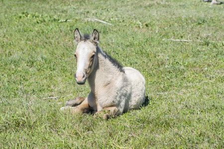 Free colt lying in the countryside, wildlife photo