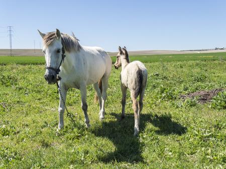 yegua: Yegua con su potro en el campo