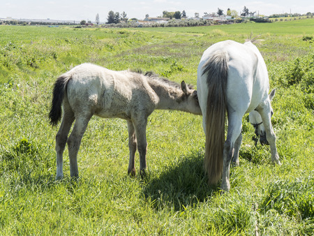 mare and foal: Mare with her foal in the field Stock Photo