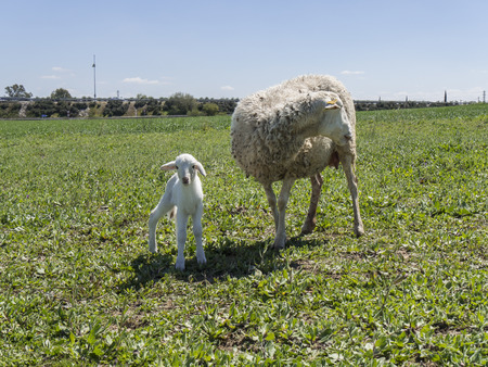 ovine: With His mother Newborn lamb in a meadow Stock Photo