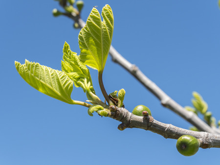 offshoot: Outbreaks of a fig tree in spring