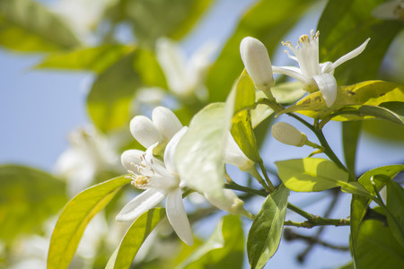 Orange blossoms in spring