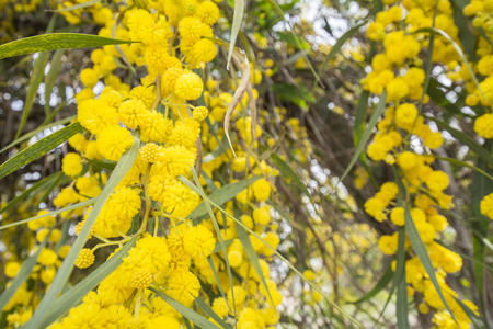 wattle: Acacia dealbata flower (silver wattle, blue wattle or mimosa) Stock Photo
