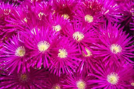 flores fucsia: Conjunto de flores color fucsia con pistilos amarillos