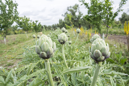 bracts: Artichokes, Cynara cardunculus Stock Photo