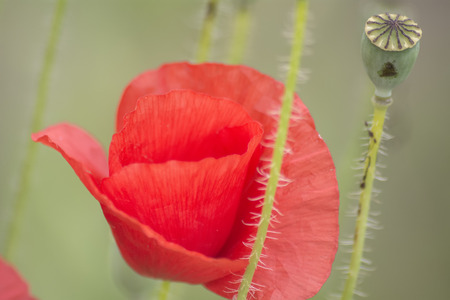 papaver rhoeas: Poppies on the field, Papaver rhoeas Stock Photo